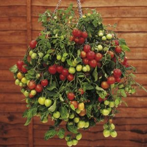 Post image for Hanging Baskets of Veggies in Your Greenhouse