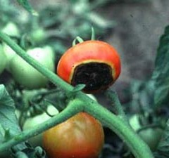 tomato end rot