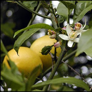 Post image for Meyer Lemons – a Funny Story from Childhood