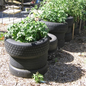 Post image for Growing potatoes in old tires – a bad idea.
