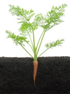 Post image for Greenhouse Carrots – Which Ones to Choose?